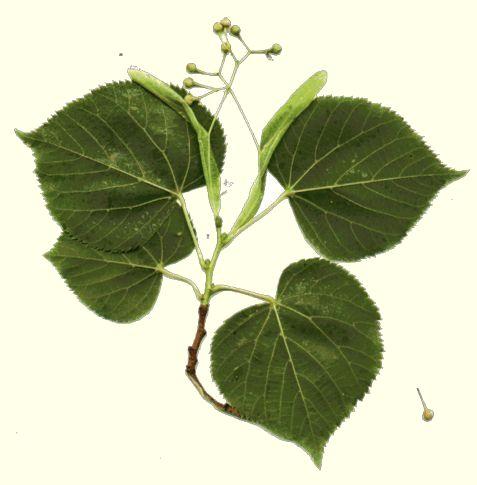 Cl de dtermination des arbres et arbustes tiliaaces - Tilleul a grandes feuilles ...